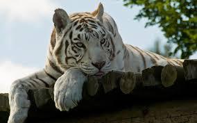 white tiger wallpaper desktop. Beautiful Wallpaper White Tiger Wallpaper Free Inside Desktop K