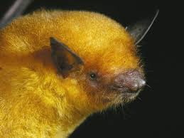 Bolivia's <b>golden bat</b>: one of six new species found by the ...