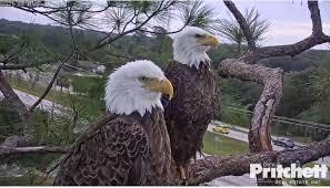 pritchett eagle cam. Modren Eagle In Pritchett Eagle Cam