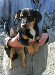 jack russell terrier black and tan. Unique Terrier Adoptable Jack Russell Terrier Dog  Evans WV Tessie Is A Sister To  Sissy And Being Surrendered From The Same Home Black Tan Intended Black And Tan