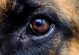 The Head Of The German Shepherd Dog The German Shepherd Dog