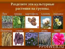Дикорастущие и культурные растения презентация к уроку  Разделите эти культурные растения на группы