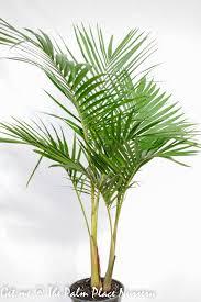 Bangalow Palm 25cm