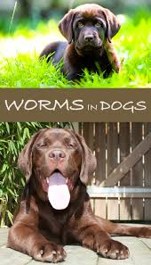 Dog Worm Identification Chart Worms In Dogs How To Keep Your Labrador Worm Free