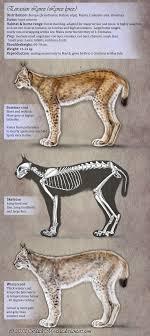 lynx size appearance of the eurasian lynx by felisglacialis on deviantart