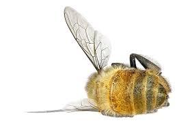 Αποτέλεσμα εικόνας για lost bee