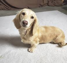 dams pretty little dachshunds