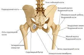 Реферат кости таза тазобедренный сустав Строение тазобедренного  реферат кости таза тазобедренный сустав
