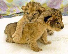cute baby liger. Wonderful Liger Liger Leopardtiger CrossI Got To Pet One When I Inside Cute Baby U