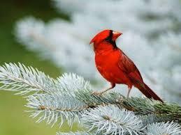 winter cardinal wallpaper. Exellent Winter Winter Cardinal Hd Desktop Wallpaper And Cardinal Wallpaper W