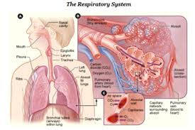 respiratory system simple english the encyclopedia human respiratory system nih png