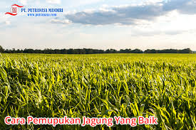 Agar tanaman jagung dapat tumbuh dengan baik dan benar, tanaman jagung haruslah memiliki lokasi penanaman. Cara Pemupukan Jagung Yang Baik Dan Membuahkan Hasil Putra Nasa