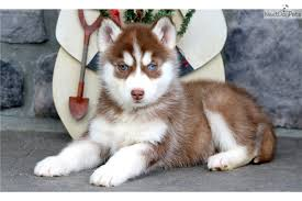 husky puppies for sale. Contemporary For Cinnamon Siberian Husky Puppy For Sale Near Lancaster Pennsylvania   159a6fdb8131 Intended Puppies For Sale I