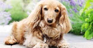 english cream dachshund vet reviews