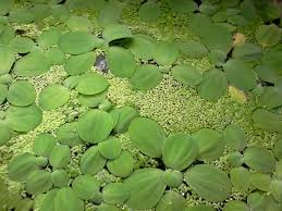 Piante galleggianti terraria