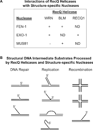 mechanisms of recq helicases in pathways of dna metabolism and   figure