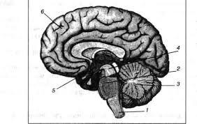 Контрольная работа по теме Нервная система Предмет биология  Ч