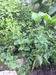 Printable Culinary Herb Chart Herb Wikipedia