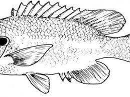 Small Picture Bass Fish Coloring Pages Coloring Page