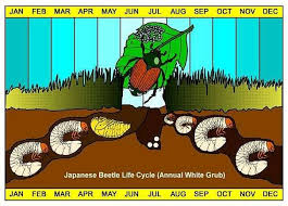 japanese beetles life cycle life cycle of japanese beetle caseys outdoor solutions florist