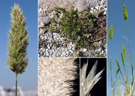 Rostraria cristata (L.) Tzvelev - Sistema informativo sulla flora ...