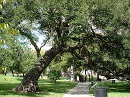 Oak Tree Growth Rate Chart Live Oak Description Planting And Growing