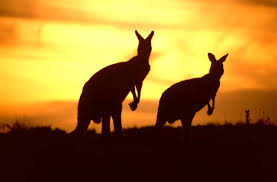 """Résultat de recherche d'images pour """"australian outback kangaroo"""""""