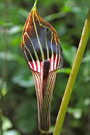 Image result for jack in the pulpit plant