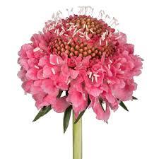 Scabiosa Floral Design Amazon Com Scabiosa Candy 180 Stems Garden Outdoor