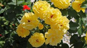 yellow rose flowers wallpapers hd 1080p 12 hd wallpapers aduphoto