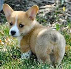 cutest corgi puppy. Plain Puppy Puppy Corgi Butt Intended Cutest