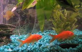 petco goldfish. Exellent Goldfish Populating Your Fish Tank For Petco Goldfish T
