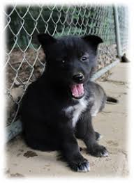 pure black husky puppy. Wonderful Puppy Gray And White For Pure Black Husky Puppy T