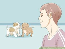 3 Ways To Take Care Of A Pitbull Puppy Wikihow