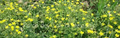 Potentilla: una gradita sorpresa … floristica   iCollidiBergamo