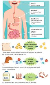Human Digestive Enzymes Chart Digestive Enzymes Digestion Process Enzymes Biology