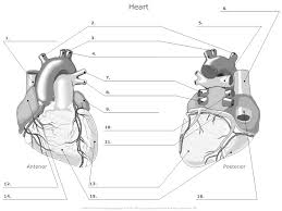 Small Picture outer heart anatomy worksheet Med School Pinterest Heart