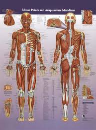Motor Points And Acupuncture Meridians Wall Chart