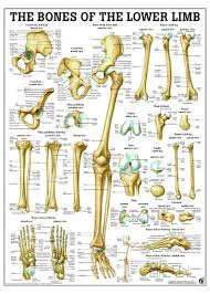 Ankle Bone Chart Bones Of Lower Limb Laminated Anatomy Chart