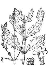 Plants Profile for Verbena officinalis (herb of the cross)