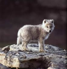 newborn white wolf pup.  Pup A Wolf Pup Looks Like Baby Mac In Newborn White Wolf Pup Y