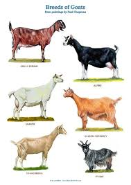 Nubian Goat Color Chart A4 Laminated Posters Breeds Of Goats Goat Farming