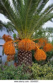 Palm Tree Green Foliage And Orange Fruit Exotic Tree Stock Photos Palm Tree Orange Fruit