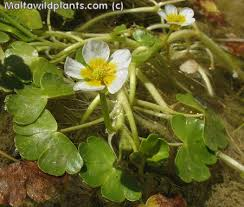 Ranunculus saniculifolius (Sanicle-leaved Water Crowfoot ...