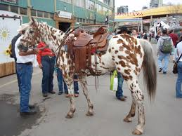 Chestnut Leopard Appaloosa With Changing Spots