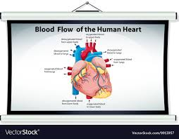Heart Flow Chart Chart Showing Blood Flow In Human Heart