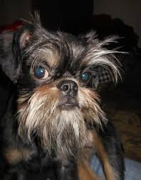 Brussels Griffon Weight Chart Brussels Griffon Dog Breed Information And Pictures