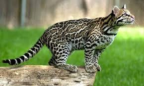 ocelot size the ocelot leopardus pardalis or dwarf leopard hubpages