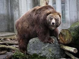 Dakota Grizzly Size Chart Kodiak Bear Vs Polar Bear Kodiak Bear Vs Polar Bear Size
