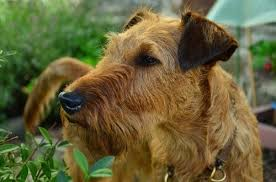 Airedale Weight Chart Growth Irish Terrier Puppy Weight Chart Irish Terrier